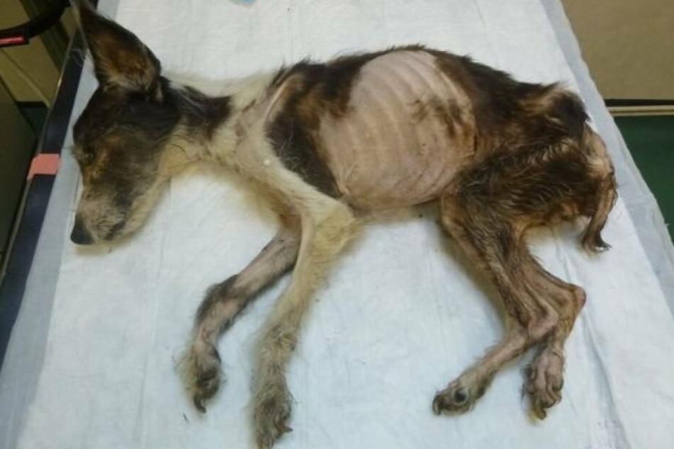 Der kleine Jack-Russell-Terrier war in einem grausamen Zustand.