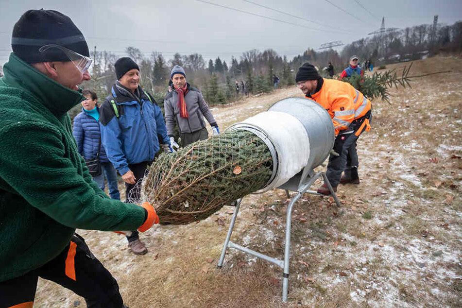 Gleich fertig: Die Grünflächenamts-Mitarbeiter Waldemar Fichtner (50, l.) und Mike Löwe (42) tüteten die gefällten Stech-Fichten ein.