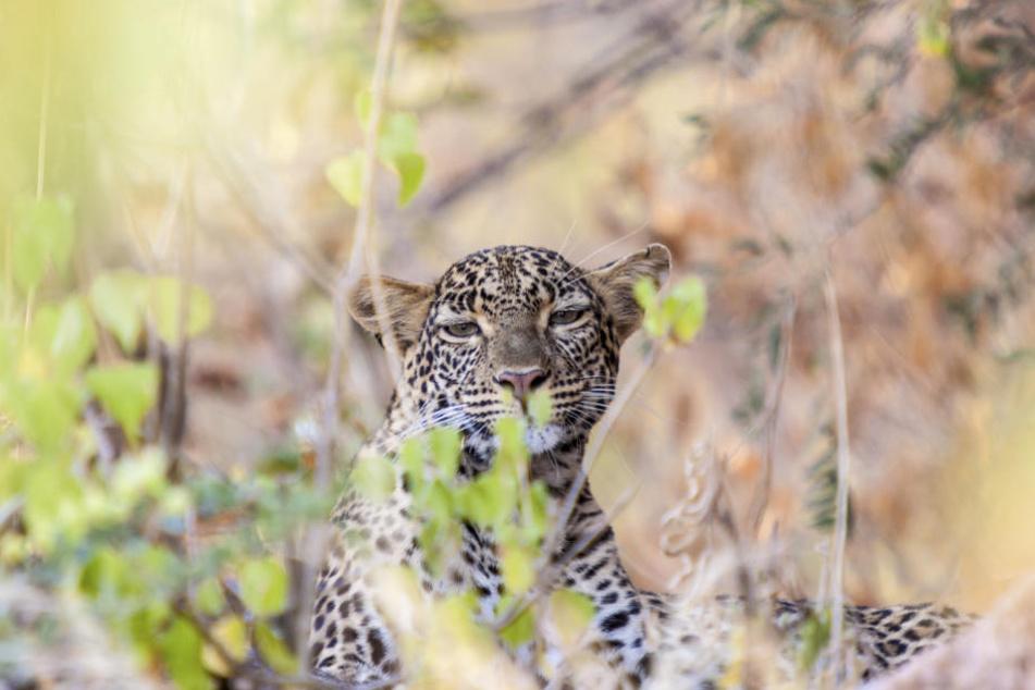 Der Leopard griff das Kind an und verletzte es tödlich. (Symbolbild)