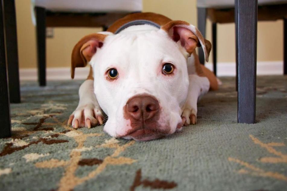 Auch der Pitbull hat einen schlechten Ruf, dabei ist er eigentlich ein richtiger Familienhund.