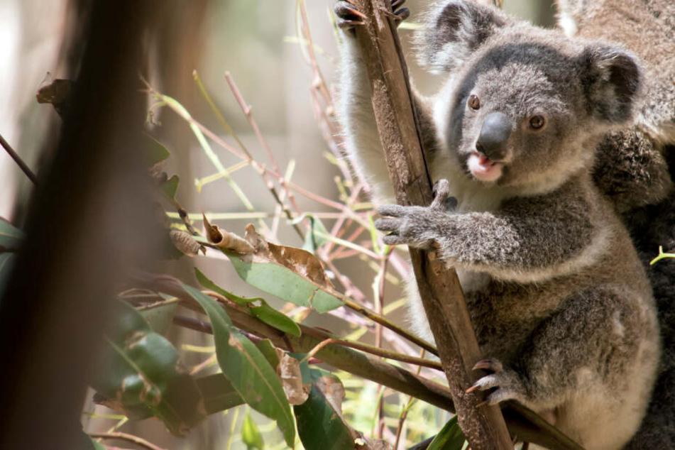 Ein Koala sitzt im Baum (Symbolbild).