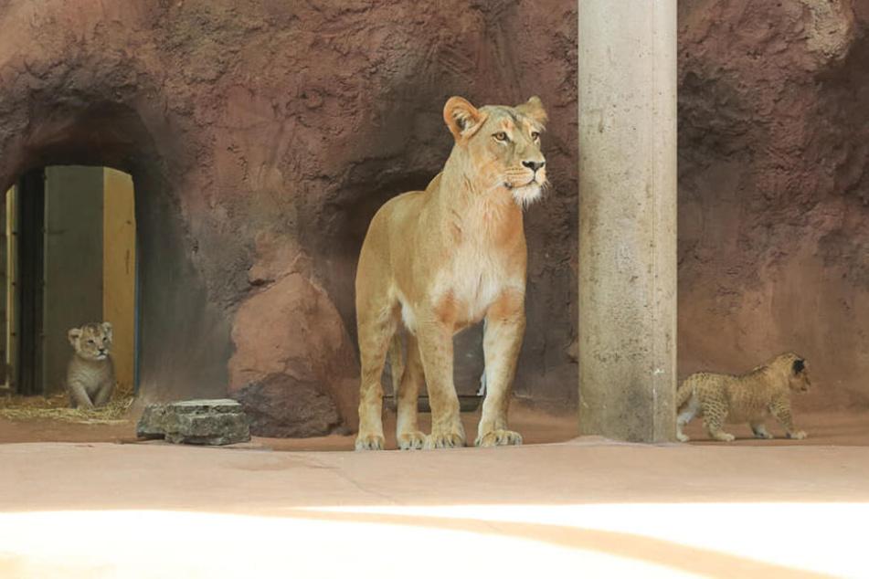 Gemeinsam mit ihrer Mutter zeigen sich die kleinen Löwen nun auch den Besuchern.