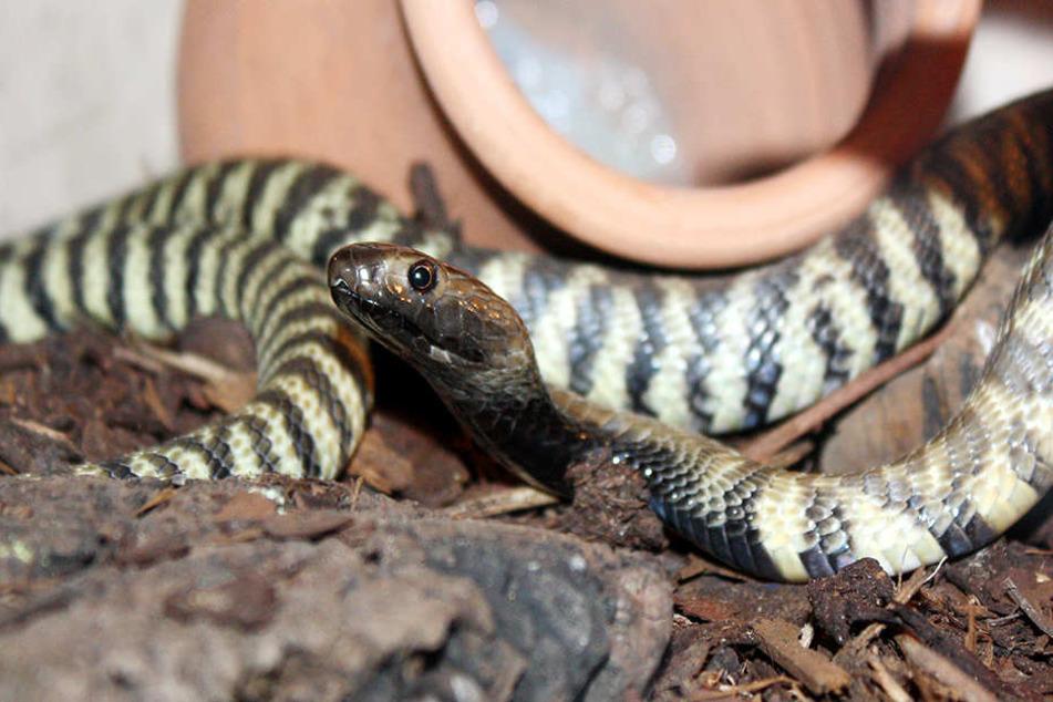 21 Giftschlangen mussten aus der Wohnung mitgenommen werden.