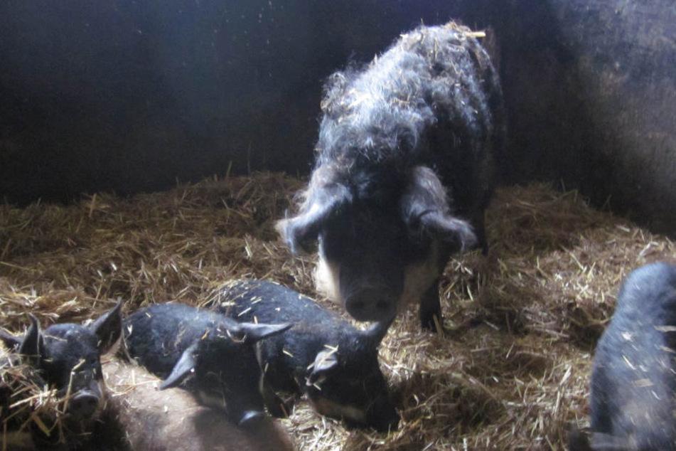 Diese Wollschweinsau mit ihren neun Ferkeln wurde jetzt vom Landratsamt  Bautzen versteigert.