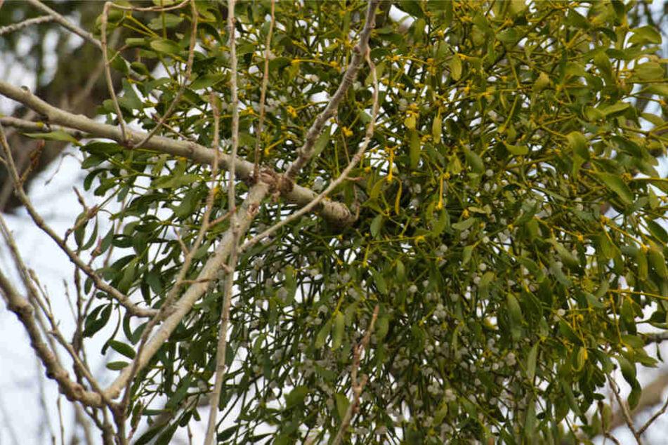 Die weißen Früchte der Misteln werden von Vögeln gefressen, so verbreitet sich die Pflanze (Archivbild).