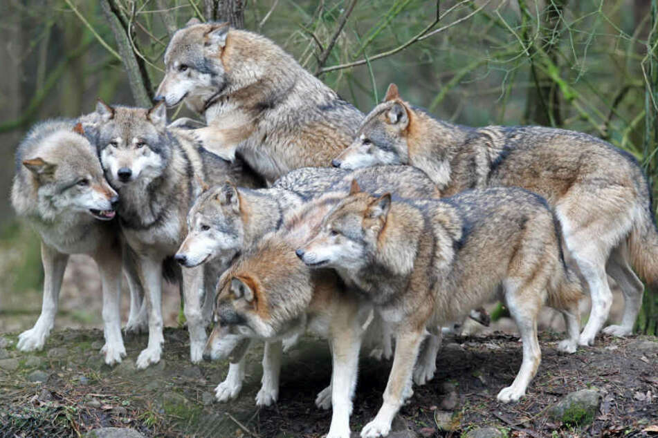Nachwuchs der Wölfe in Dänemark ist nach Schleswig-Holstein gewandert (Symbolbild).