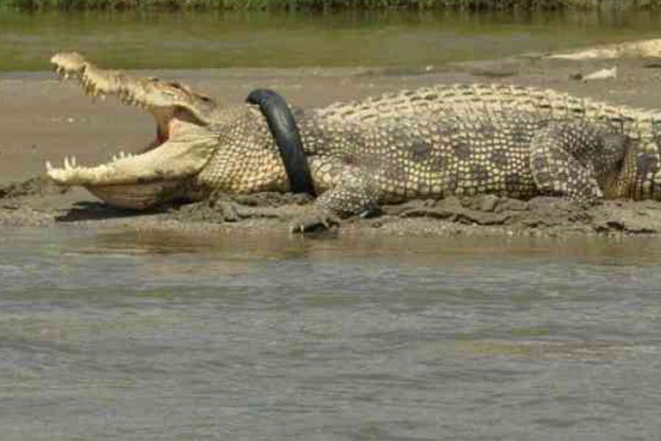 Behörden vermuten, dass der Reifen dem Krokodil die Luft nimmt.