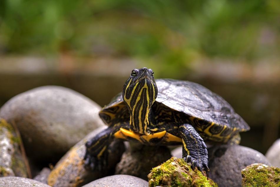 Eine solche Gelbwangen-Schmuckschildkröte war dem Mann zugelaufen. Wer seine vermisst, der kann sich gern beim Polizeirevier Weißwasser melden. (Symbolbild)