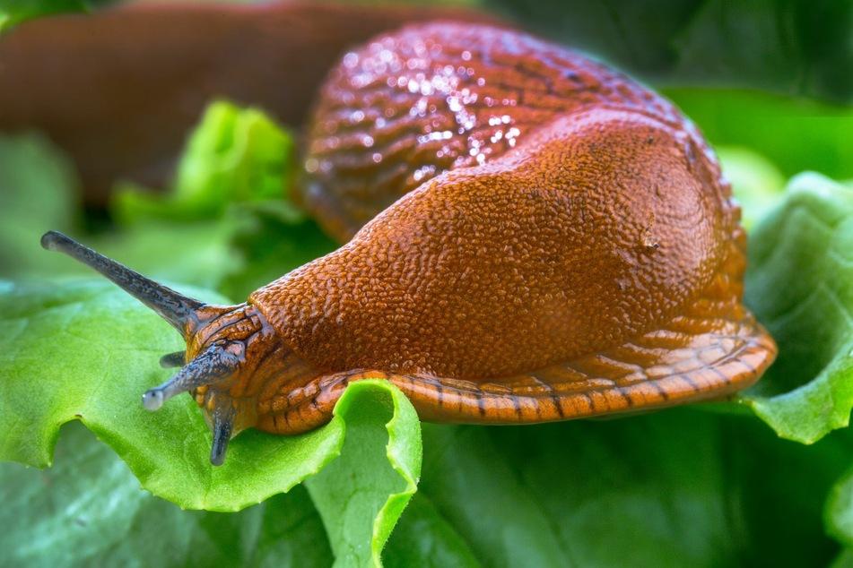 Was hilft gegen Schnecken im Hochbeet? Das könnt Ihr jetzt tun!