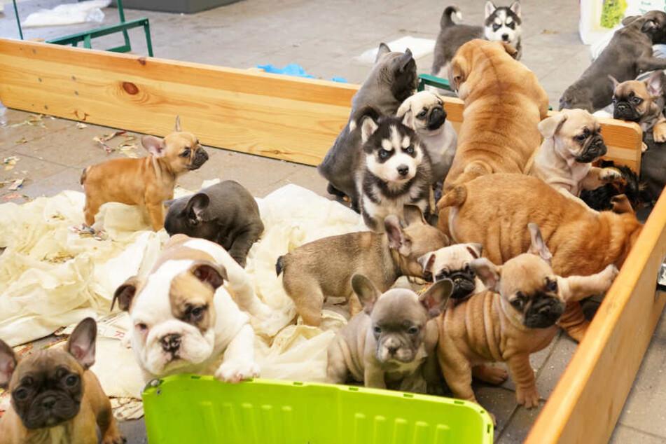 Die Polizei konnte insgesamt 37 Hundewelpen aus einem Transporter befreien.