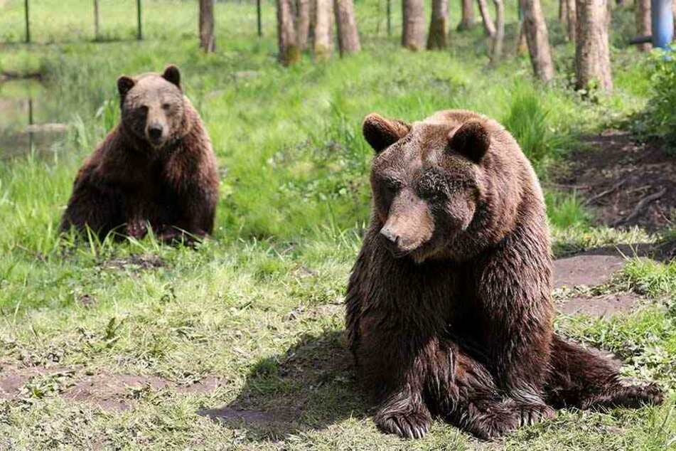 Tierquälerei? Diese Braunbären sollen umgesiedelt werden