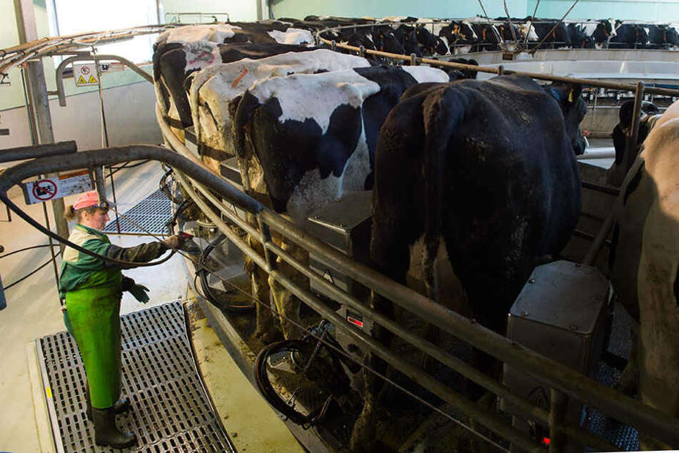 Der Bestand der Milchkühe in Thüringen ist innerhalb von zwei Jahren um fast 9500 auf 103 600 Tiere gesunken.