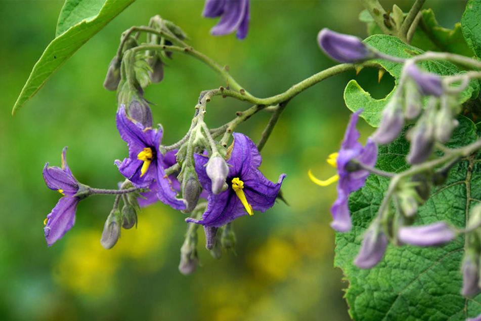 Von dieser Pflanze aßen die Kinder und Erwachsene die Beeren: Bittersüßer Nachtschatten!