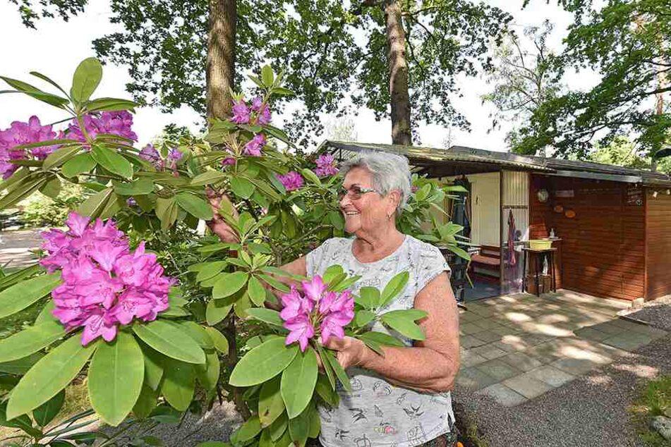 Die Seniorin bei der Pflege der Rhododendren.