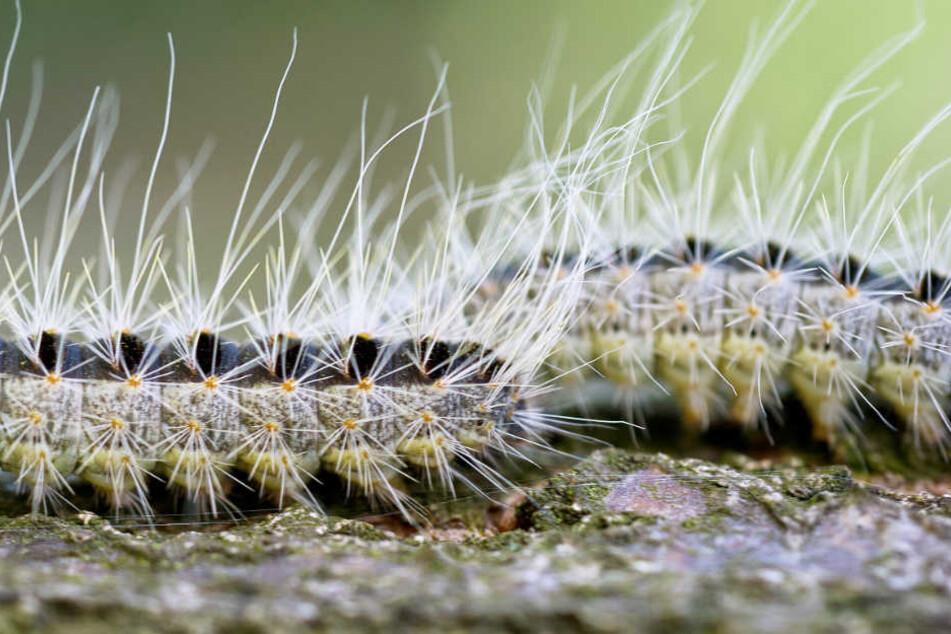 Die Haare der Raupe des Eichenprozessionsspinners sind sehr gefährlich.
