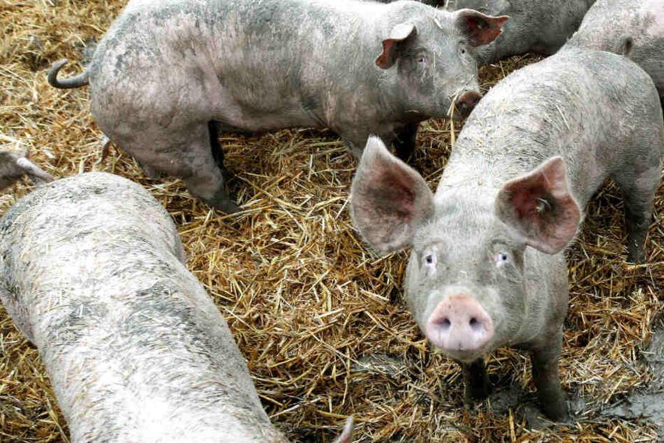100 Schweine überfallen Ortschaft: Anwohner gehen mit Traktoren, Rechen und Besen vor