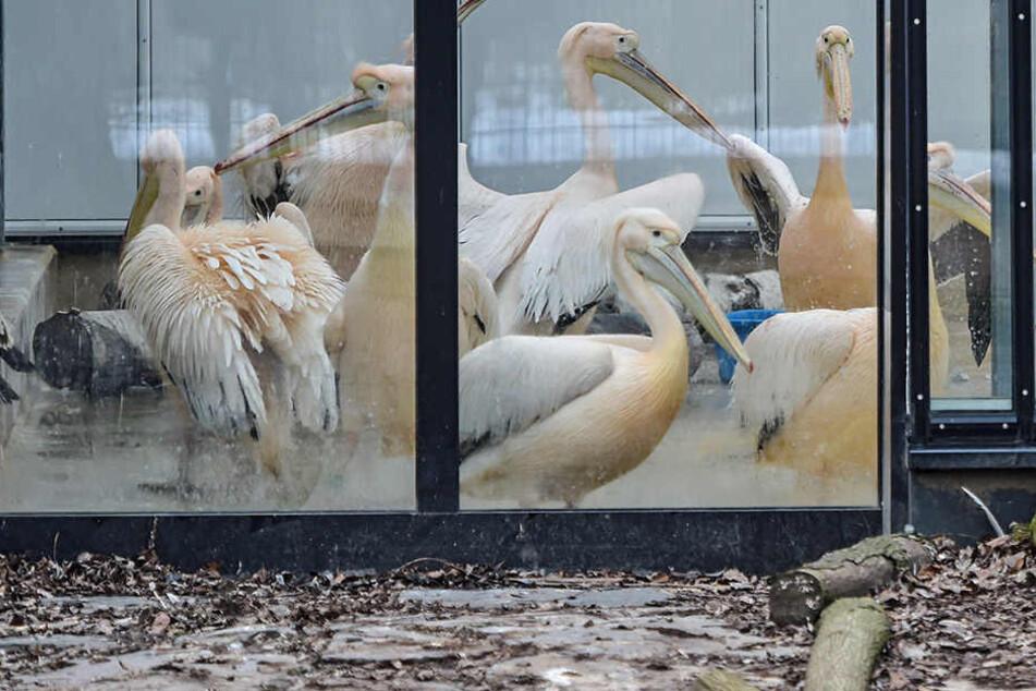 Als eine der ersten Vogelarten werden die Pelikane im Dresdner Zoo freigelassen.