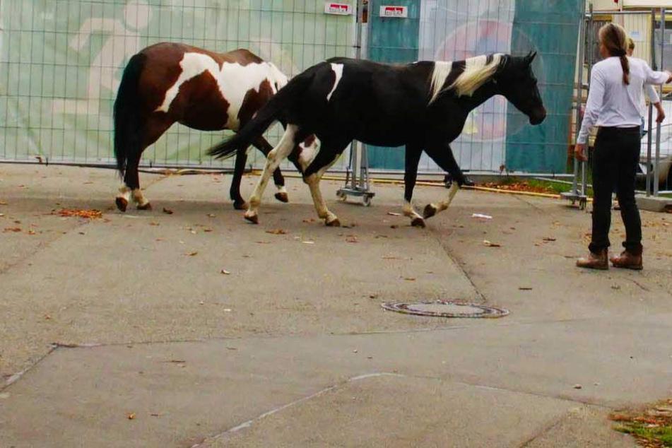 Sicherheitspersonal konnte die Ponys wohlbehalten zurück in ihren Stall bringen.