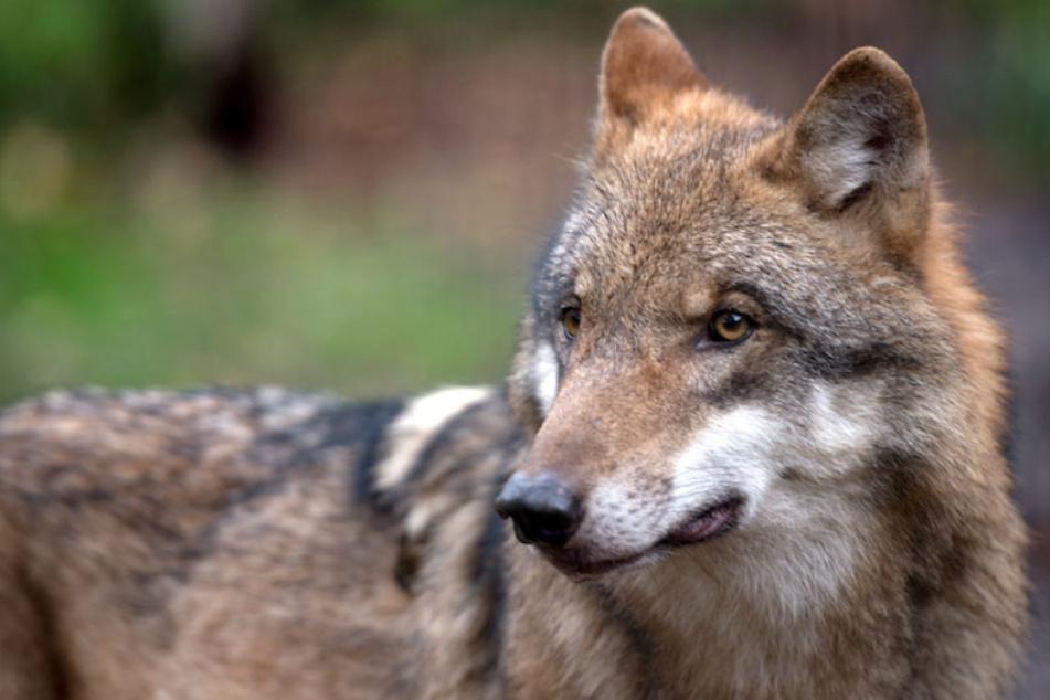 Dem Bauernbund Brandenburg geht die Wolfverordnung nicht weit genug.