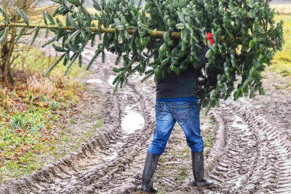 Weg mit dem Ding! Noch bis zum 31. Januar können Weihnachtsbäume abgegeben werden.