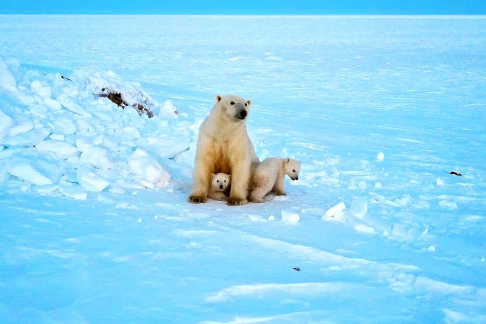 Eine Eisbärmutter auf der Wrangelinsel auf Nahrungssuche mit ihren zwei Kindern.