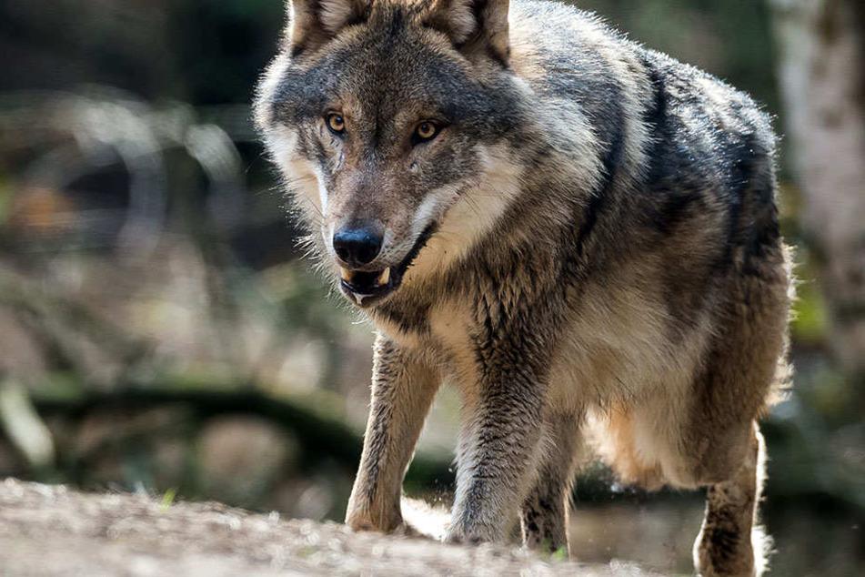 In Brandenburg sollen derzeit die meisten Wölfe leben.
