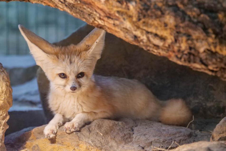 Fenneks haben auffällig große Ohren.