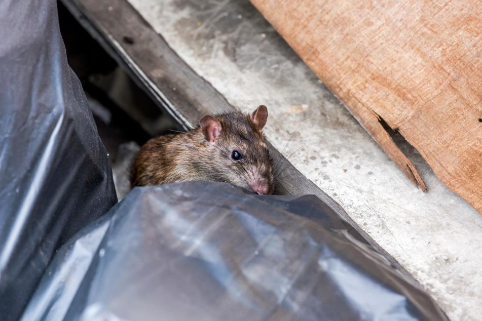 Eine Ratte versteckt sich hinter einer Reihe von Müllsäcken. Von Menschen weggeworfene Lebensmittel sind eine perfekte Nahrungsquelle für die kleinen Überlebenskünstler.