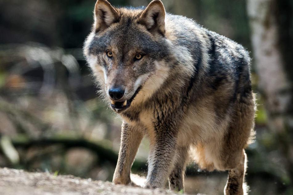 Drei Schafe wurden bei Bad Wildbad gerissen. Aktuell wird untersucht, ob es ein Wolf gewesen ist. (Symbolbild)