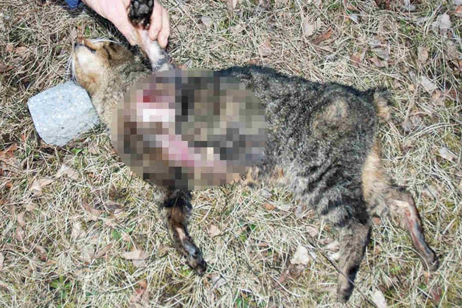 Der oder die unbekannten Täter trennten der Katze Ohren und Schwanz ab.