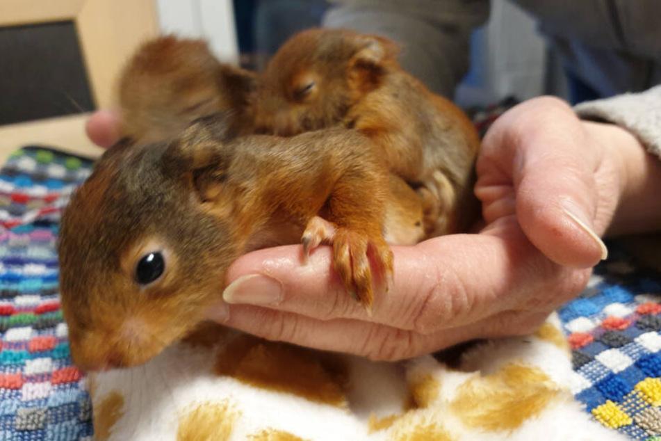 Die drei Eichhörnchenbabys sind nicht größer als zwei Hände.