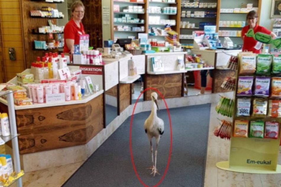 Storch sucht Futter in Apotheke