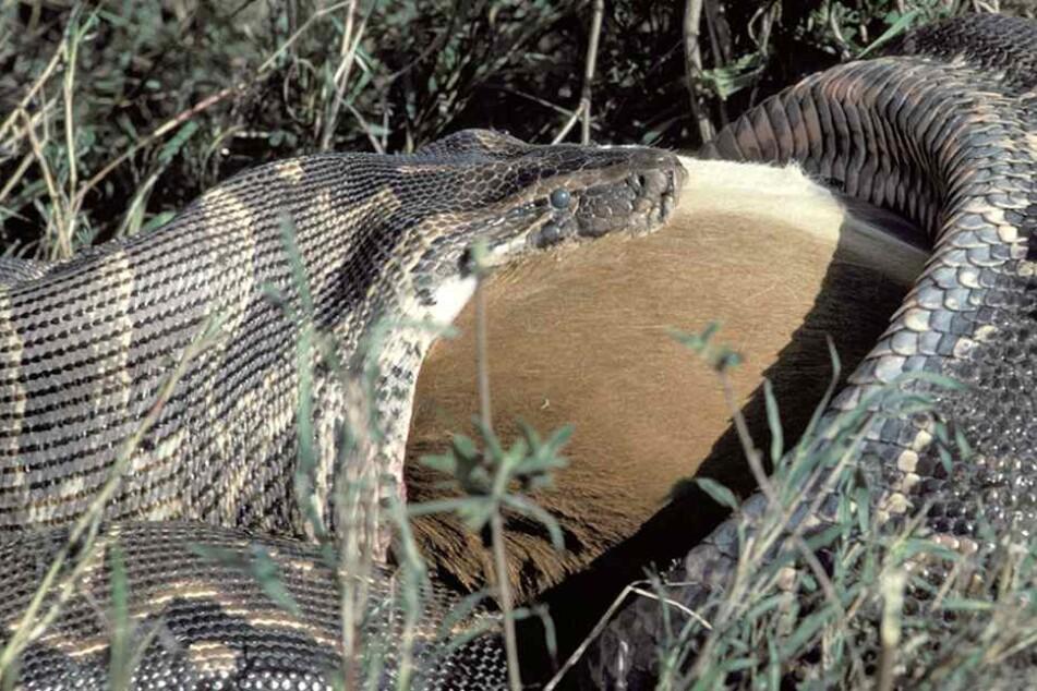 30 Minuten brauchte die Schlange, um das Wallaby zu erlegen. (Symbolbild)