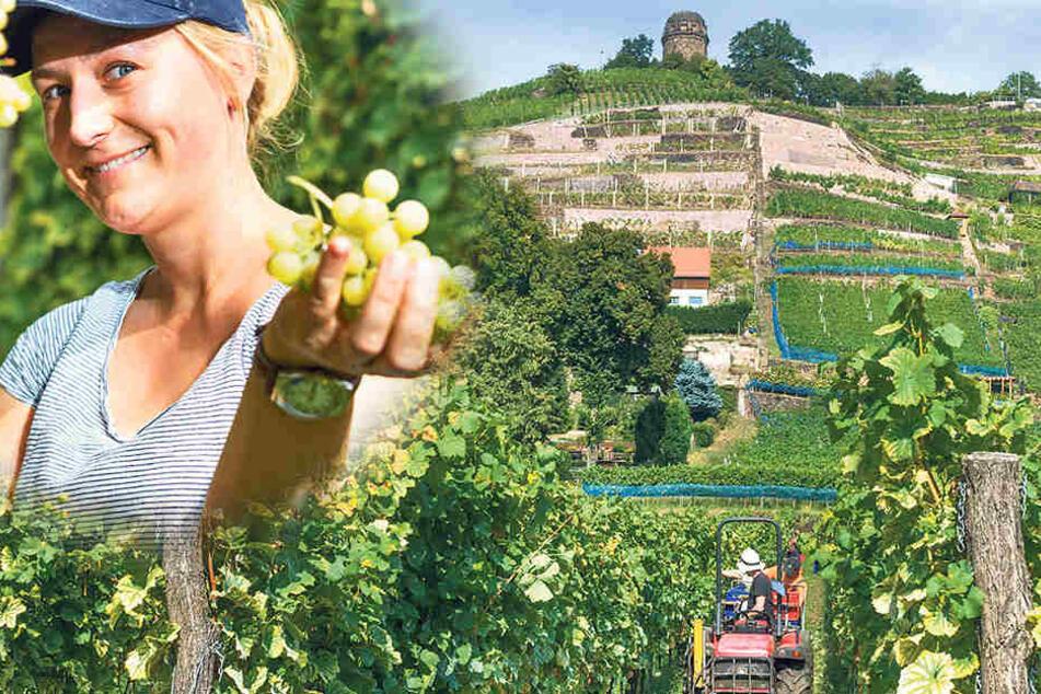 Auf dem Weingut Karl Friedrich Aust wurden die letzten Sonnentage zur Weinlese genutzt.
