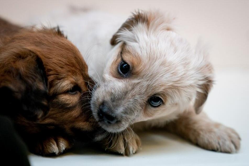 Die Tierschutzorganisation RSPCA rettete über 100 Hunde aus dem Messi-Haus. (Symbolbild)