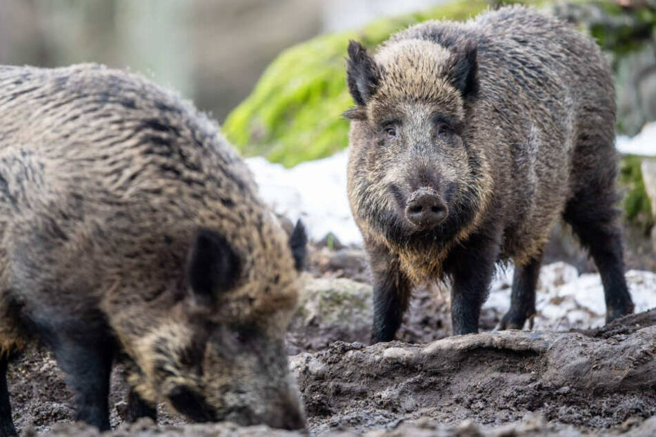 Wildschweine in Bayern machen Landwirten zu schaffen: Rabiate Forderung