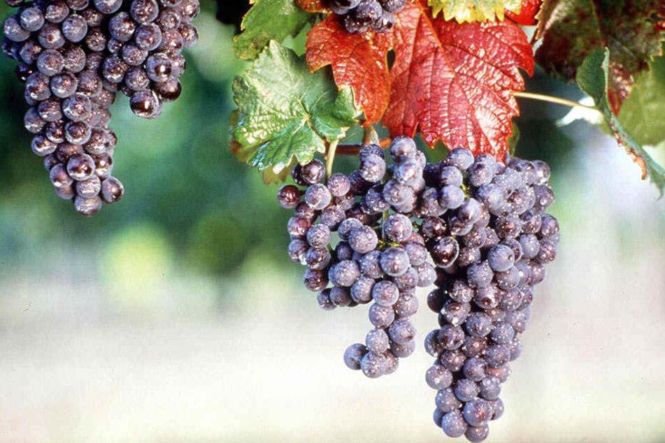 Rotwein kommt bei vielen Sachsen besser an als Weißwein.