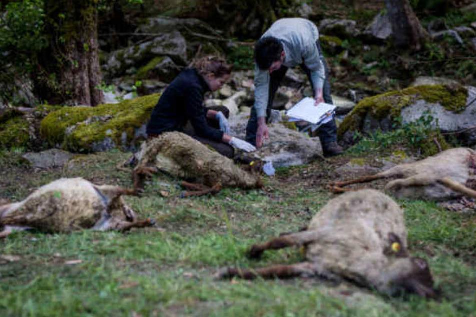 Die Kadaver der Schafe lagen weit verstreut. (Archivbild)