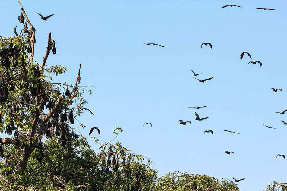 Die Fledermäuse sind durch die Hitze derart gestresst, dass die auf Menschen losgehen. (Symbolbild)