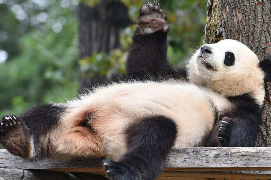 Sie liebt es gemütlich: Die Panda-Dame liegt gern gemütlich herum.