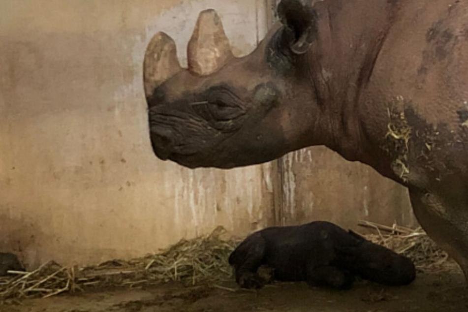 Baby-Nashorn geboren: Süßer Nachwuchs im Zoo!