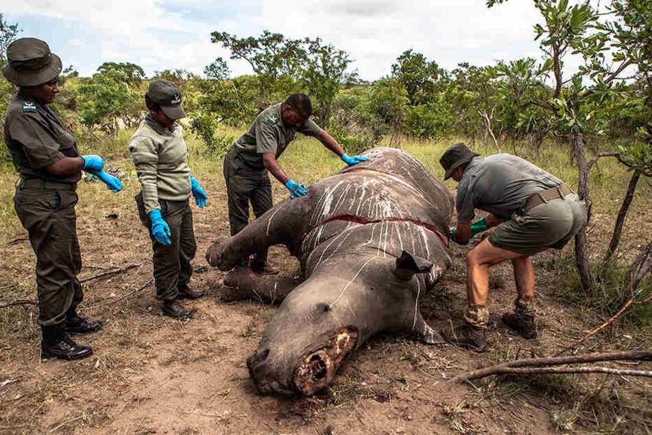 Die bedrohten Nashörner werden nur wegen ihrer Hörner gejagt, die in Asien verkauft werden.