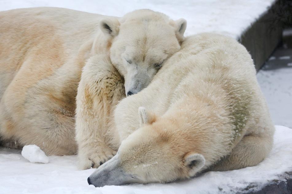 Eisbärmännchen Bill (l) und Eisbärdame Lara kuscheln sich aneinander und machen im Schnee ein Nickerchen.