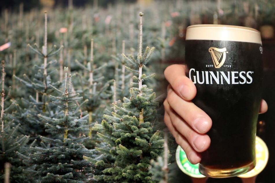 Bloß kein Bier verschwenden! Weihnachtsbäume in Corona-Krise mit Guinness gegossen