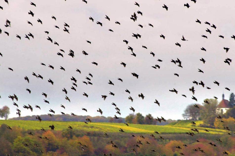 Der Vogelschwarm fand alleine nicht mehr den Weg in die Freiheit. (Symbolbild)