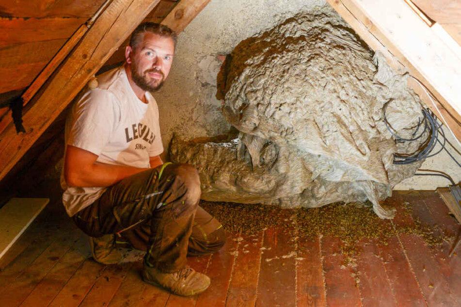 """Sohn Sandro (35) traut sich ganz nah an das XXL-Nest auf dem Dachboden, wo  früher mal ein Fenster war. """"Wenn man sich nicht schnell bewegt, passiert auch  nichts."""""""