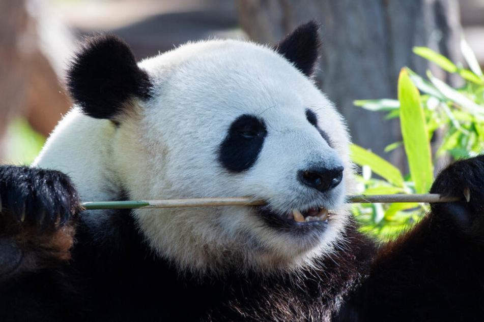 Der Panda-Mann Jiao Qing läßt es sich in seinem Gehege im Zoo schmecken, während Panda-Dame Meng-Meng sich hinter den Kulissen um die am Wochenende geborenen zwei Jungtiere kümmert.