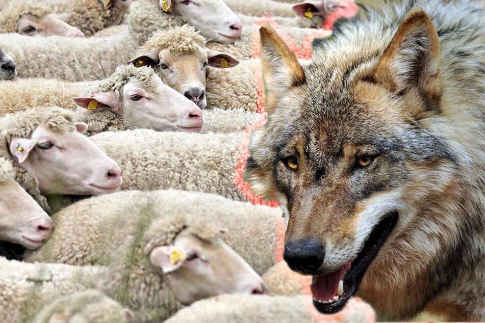 Im Jonastal wurden zehn Schafe getötet, sie könnten von einem Wolf gerissen worden sein.