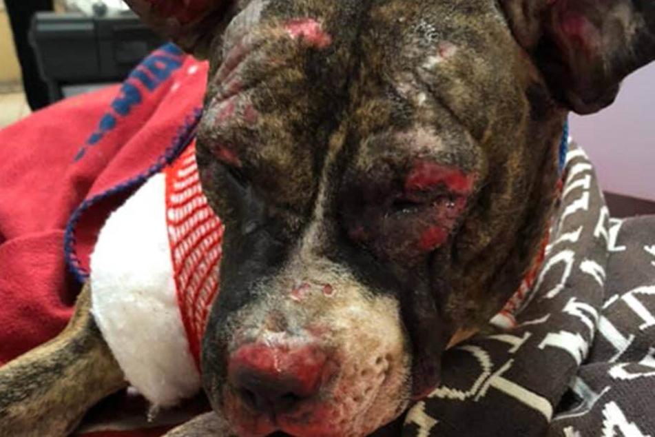 Der Pitbull wurde von Tierquälern angezündet.