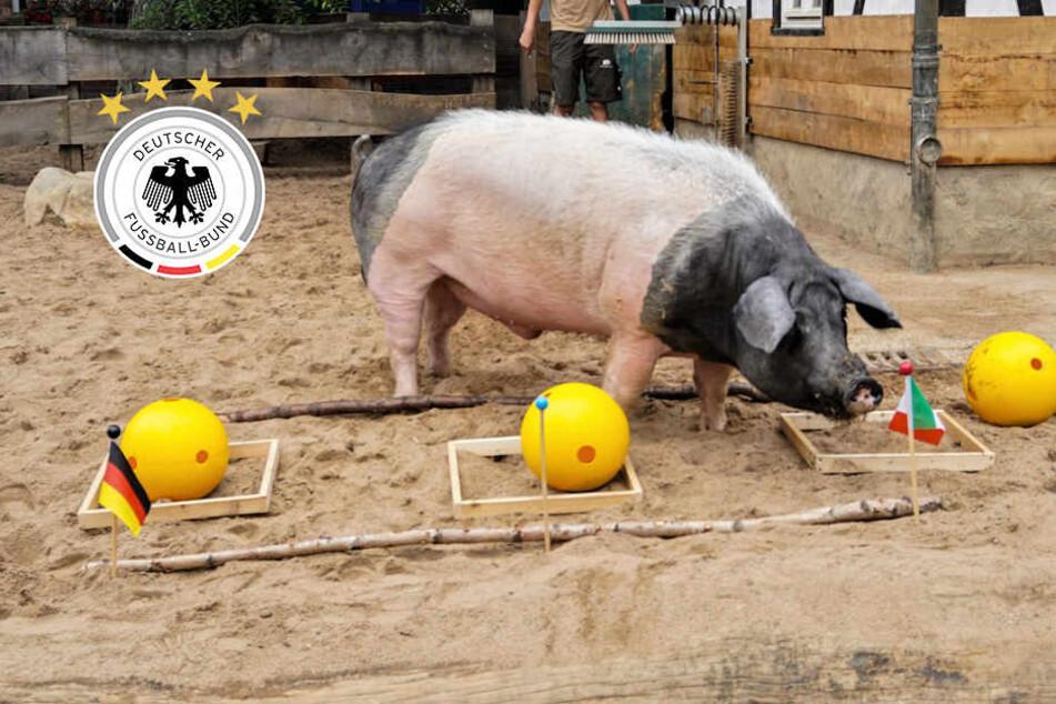 Tippt WM-Schwein Harry wieder gegen Deutschland?